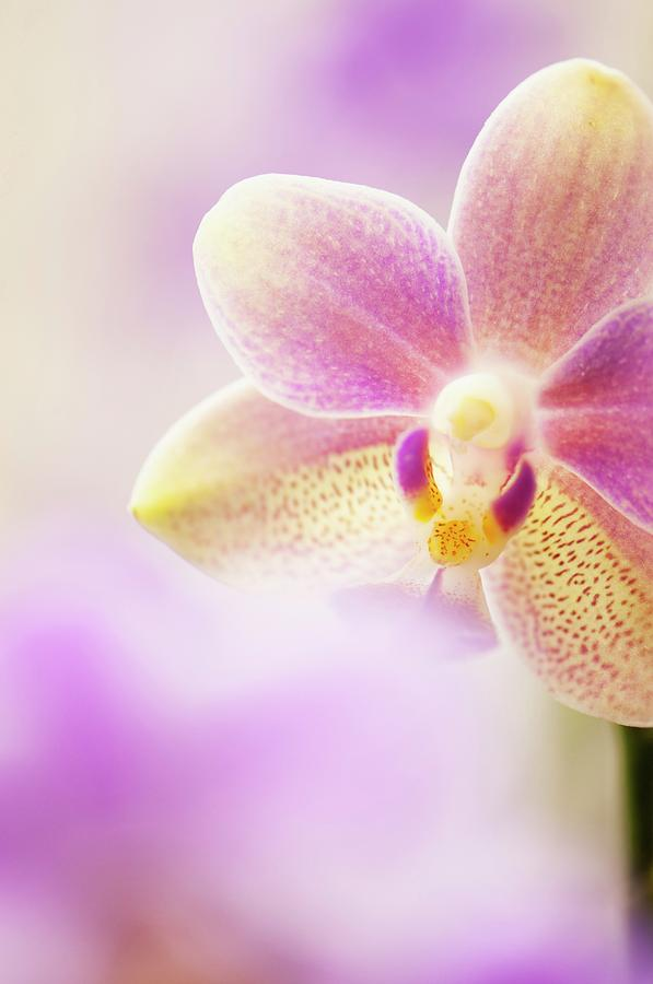 Beauty In Nature Photograph - Phalaenopsis Tzu Chiang Balm ot0076 Orchid by Maria Mosolova/science Photo Library
