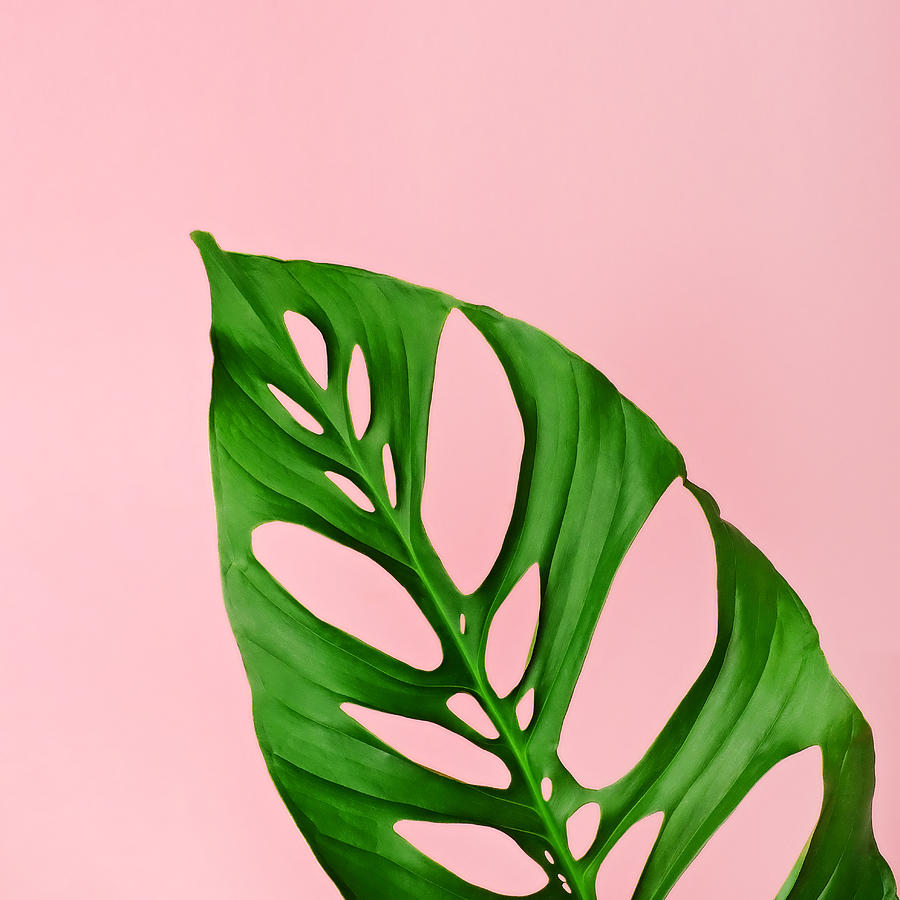 Nature Photograph - Philodendron Leaf On Pink by Juj Winn