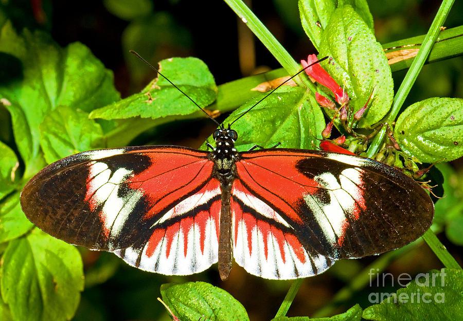 Nature Photograph - Piano Key Butterfly by Millard H. Sharp
