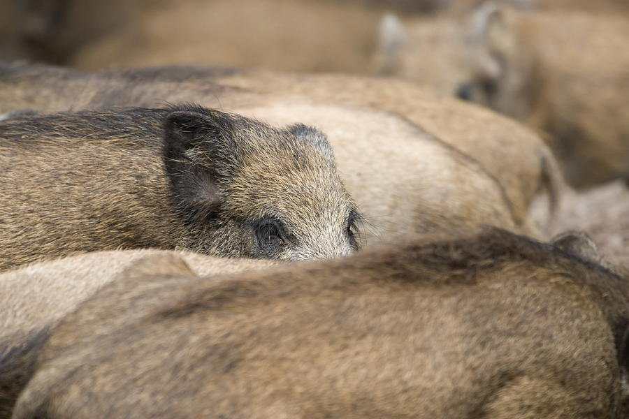 Pigs Photograph - Piglets In Hochwildpark Rhineland Kommern Mechernich Germany by Ronald Jansen