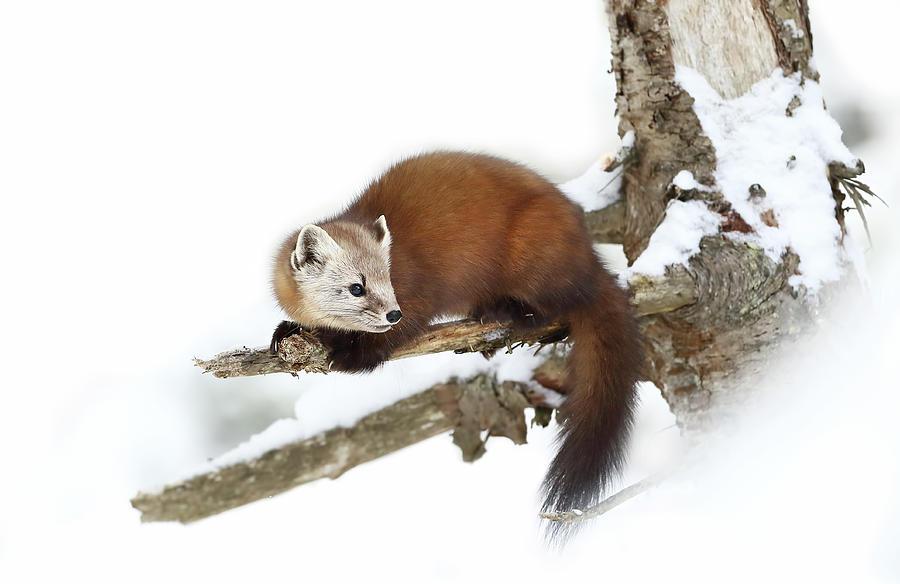 Weasel Photograph - Pine Marten - Algonquin Park by Jim Cumming