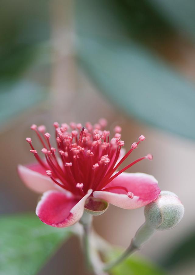 Pineapple Guava Photograph - Pineapple Guava (feijoa Sellowiana) by Maria Mosolova