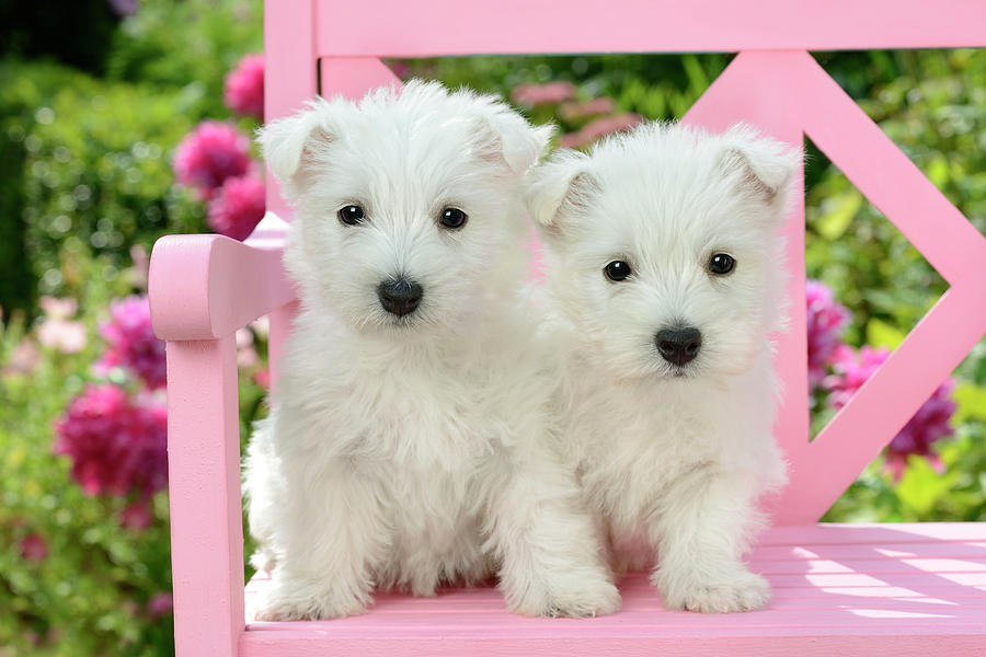 White Painting - Pink Bench Puppies 2 by MGL Meiklejohn Graphics Licensing