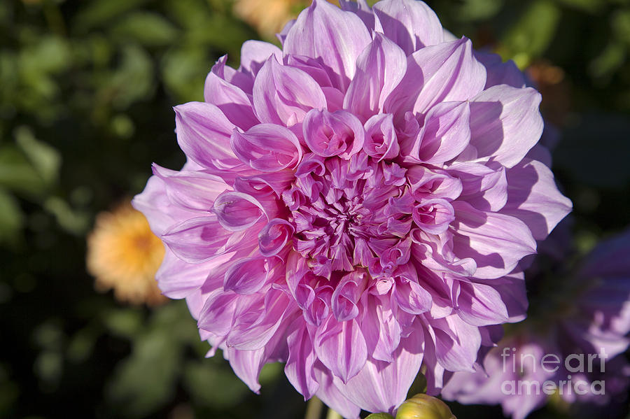 Bloom Photograph - Pink Dahlia by Peter French