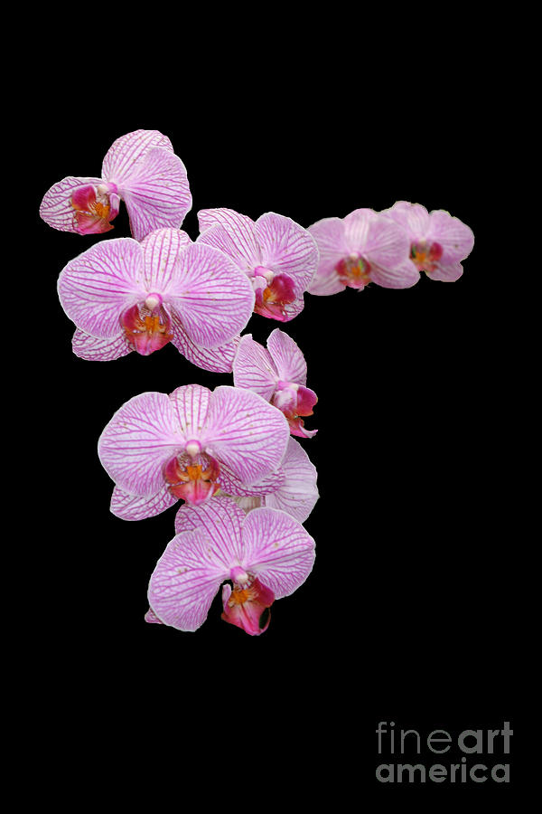 Purple Photograph - Pink Orchids by Tom Prendergast