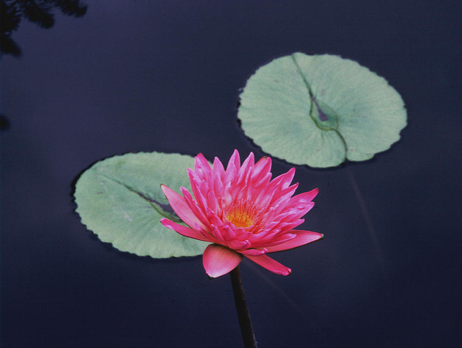 Pink Photograph - Pink Water Lily Two Pads by Tom Wurl
