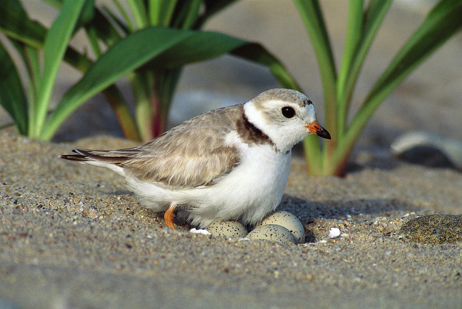 Piping Plover Charadrius Melodus Photograph by Tom Vezo