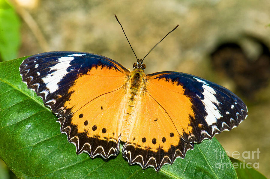 Plain Tiger Butterfly Photograph By Millard H Sharp