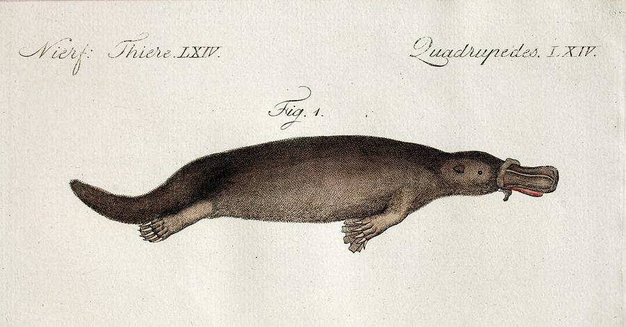 Platypus Anatomy (blumenbach) Photograph by Paul D Stewart