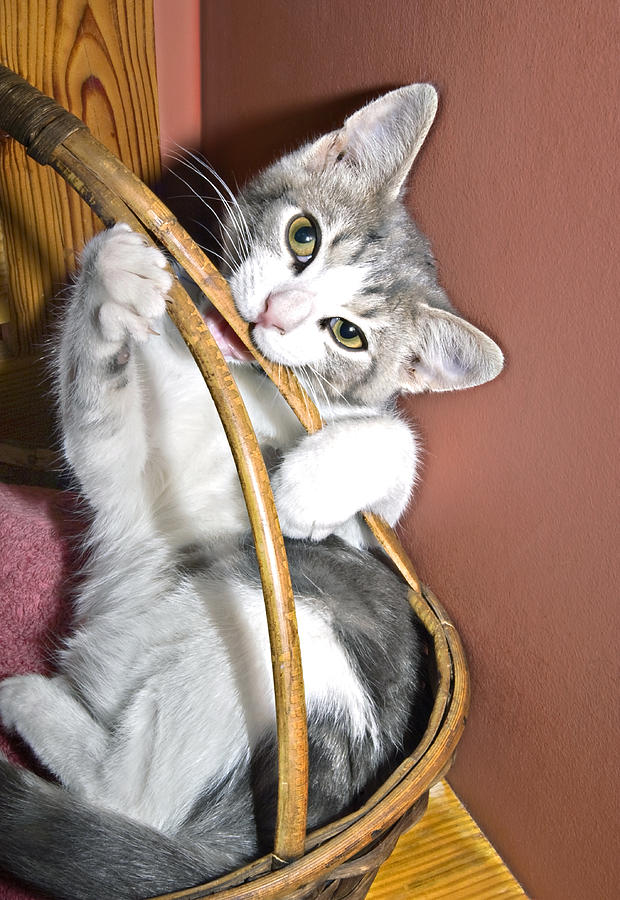 Kitten Photograph - Playful Kitten by Susan Leggett