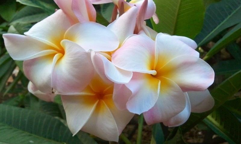 Blush Photograph - Plumeria Cluster by Blondie Wagner