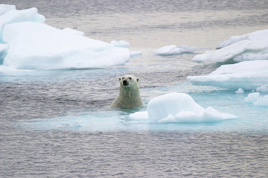 Ursus Maritimus Photograph - Polar Bear by John Devries/science Photo Library