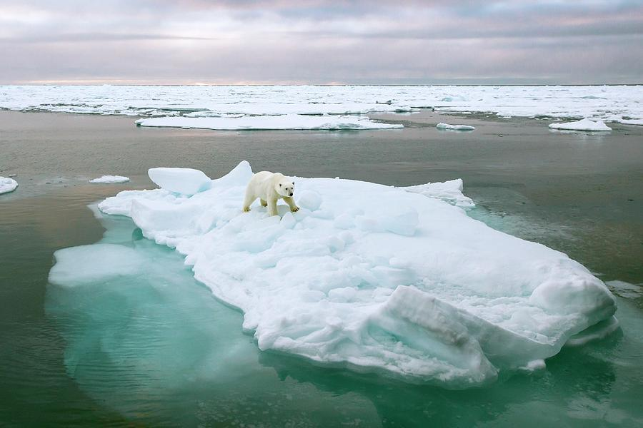 1 Photograph - Polar Bear Standing On A Ice Floe by Peter J. Raymond
