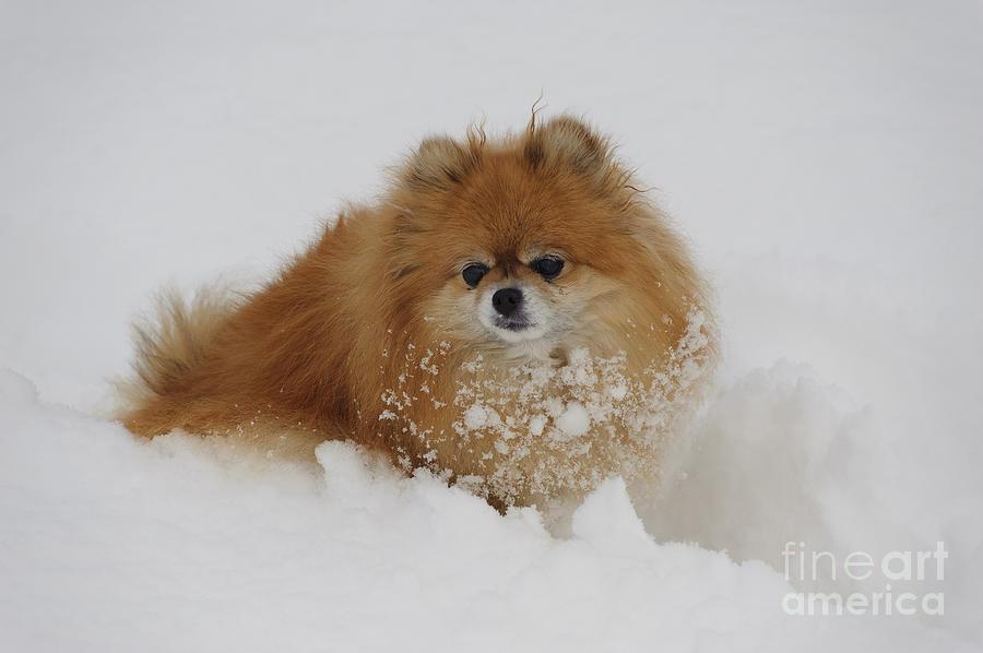 Pomeranian Photograph - Pomeranian In Snow by John Shaw