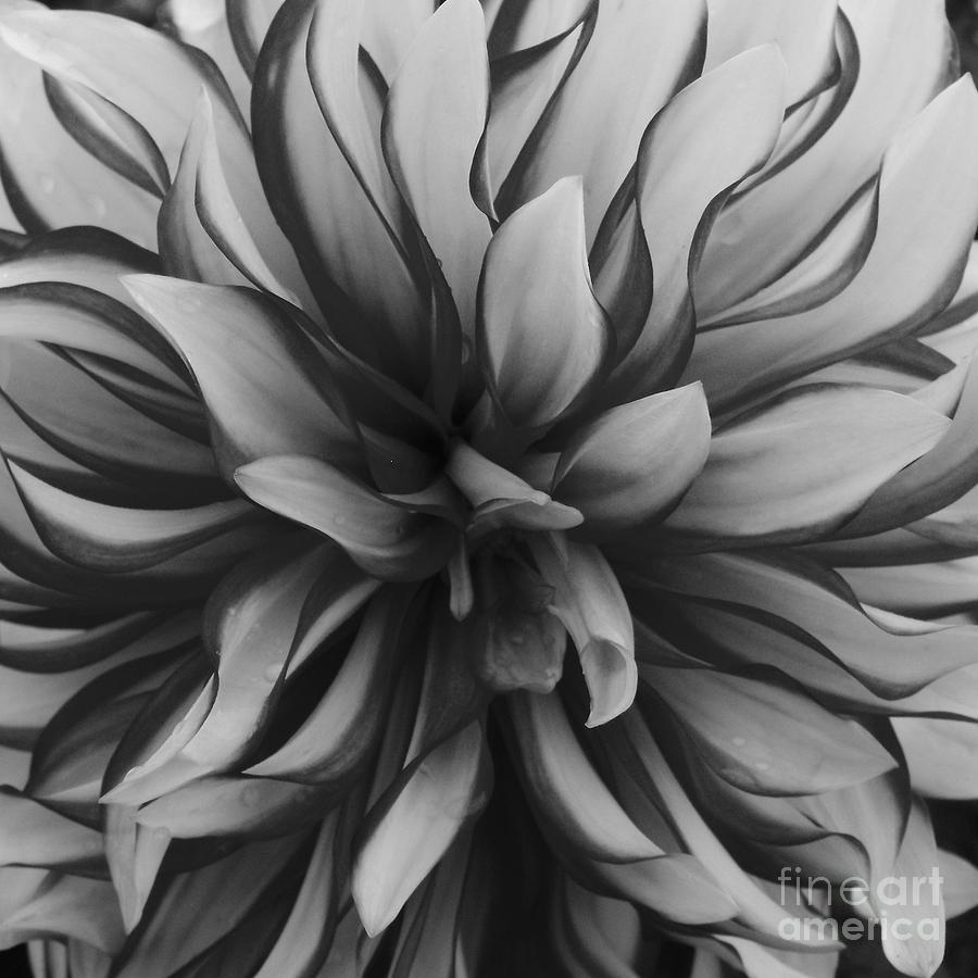 Flower Photograph - Pompom by Paulina Roybal