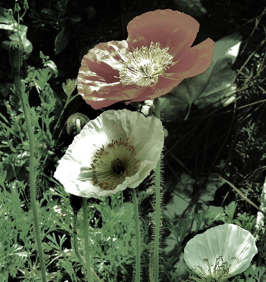 California Poppies Photograph - Poppies  by Helen Carson
