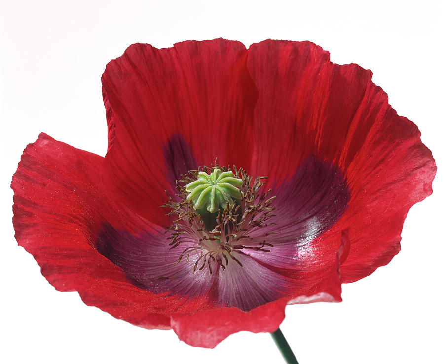 Poppy Photograph - Poppy Flower by Sheila Terry/science Photo Library