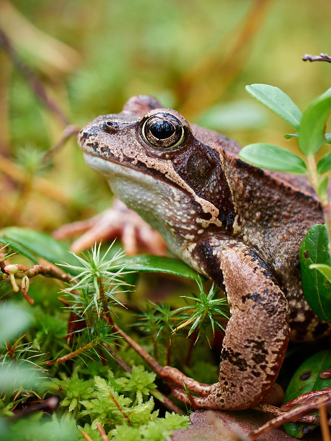 Finland Photograph - Portrait Of A Frog by Jouko Lehto