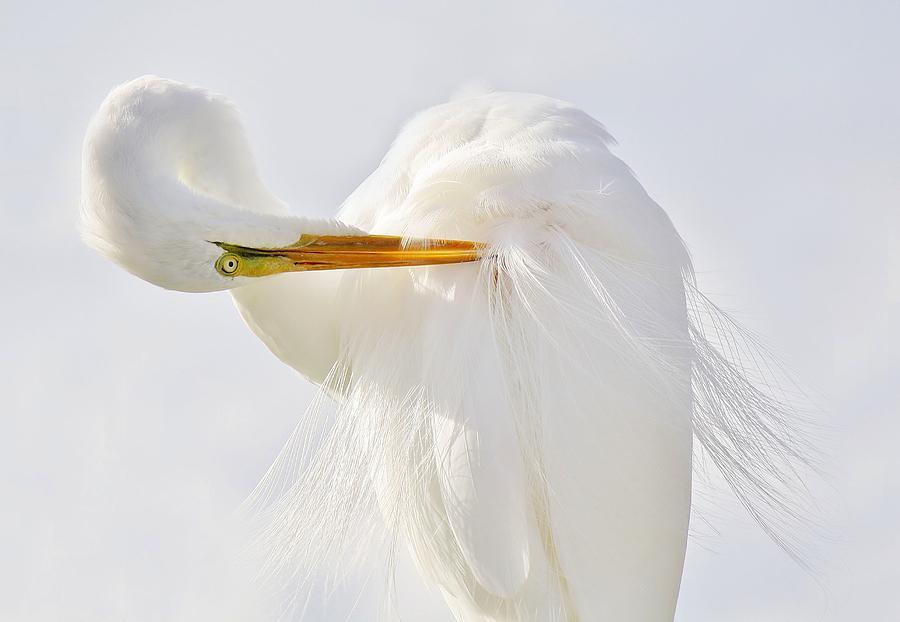 Great White Egret Photograph - Preening by Paulette Thomas