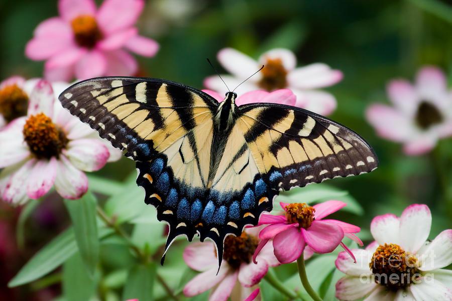Pretty Swallowtail Butterfly Photograph