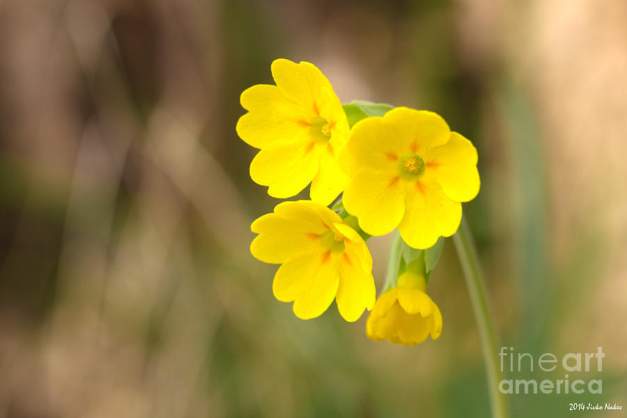 Cowslip Photograph - Primula Cowslip Fairy Cups by Jivko Nakev