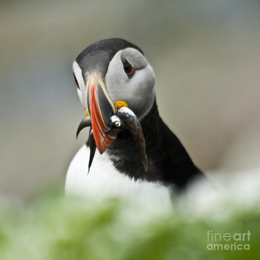 Bird Photograph - Puffin With Fish by Heiko Koehrer-Wagner