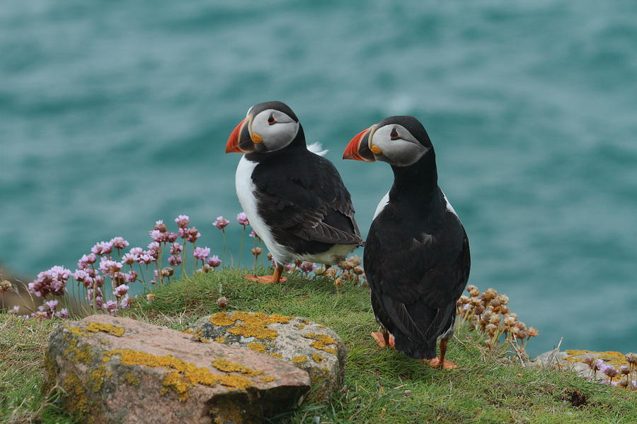 Puffins Saltees Islands Wexford Nature Canon 7d Pskeltonphoto.com Prints Photography Cards Photograph - Puffins by Peter Skelton