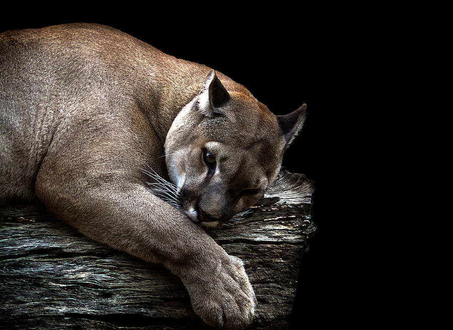 Puma Photograph by Pvicens