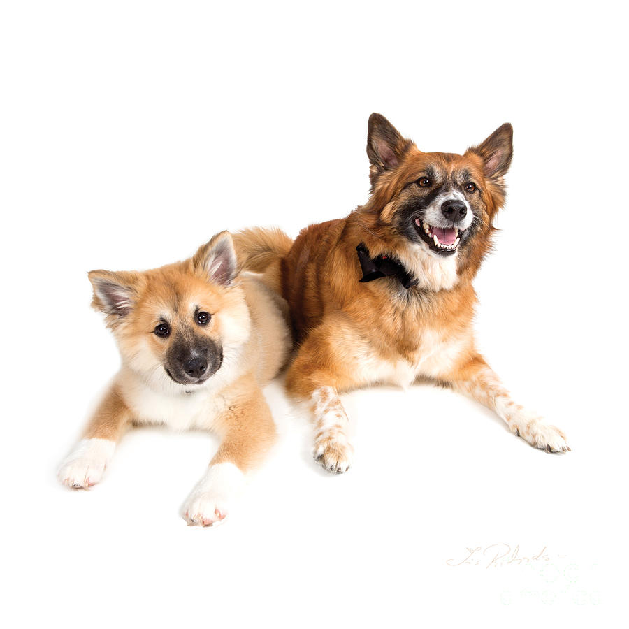 Icelandic Sheepdog Puppy And Adult Photograph