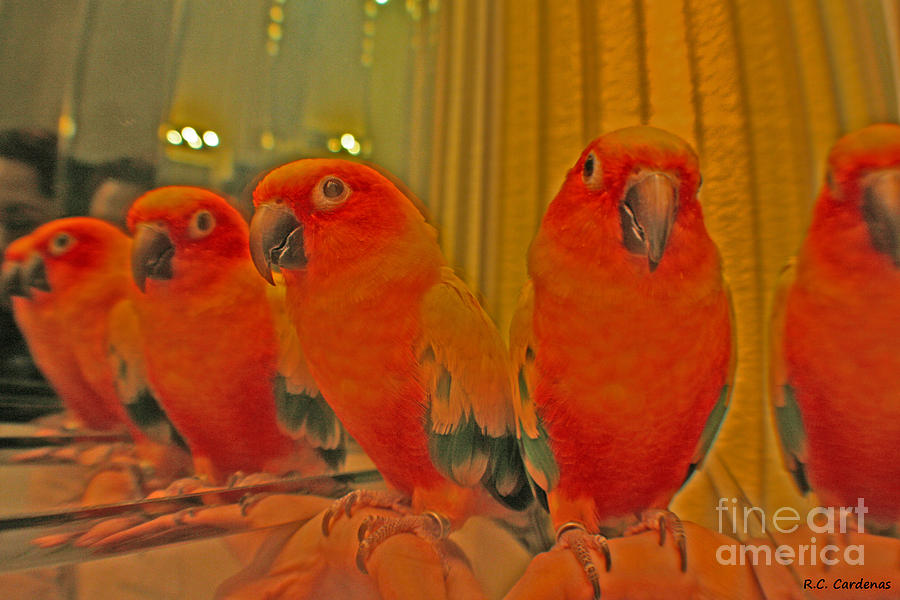 Sun Conure Photograph - Purdy Peaches by Rebecca Christine Cardenas