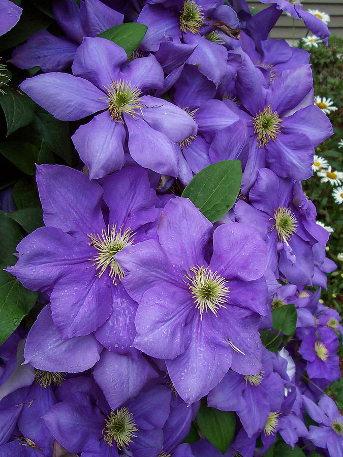 Garden Photograph - Purple Clematis by Amy Porter