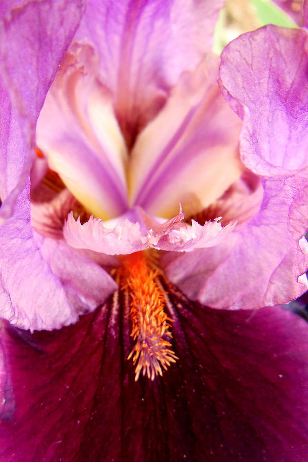 Iris Photograph - Purple Iris by Virginia Forbes