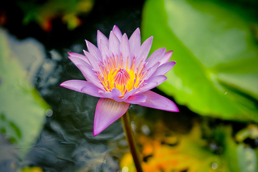 Backgrounds Photograph - Purple Lotus  by Raimond Klavins