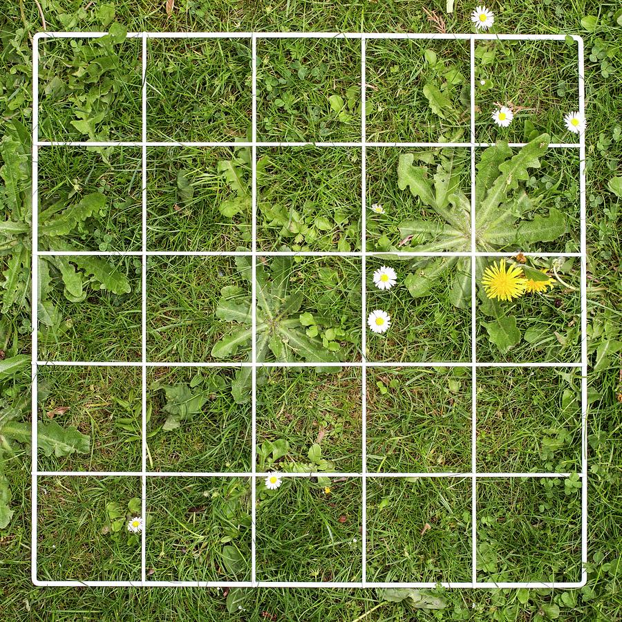quadrat on a lawn with weeds photograph by science photo. Black Bedroom Furniture Sets. Home Design Ideas