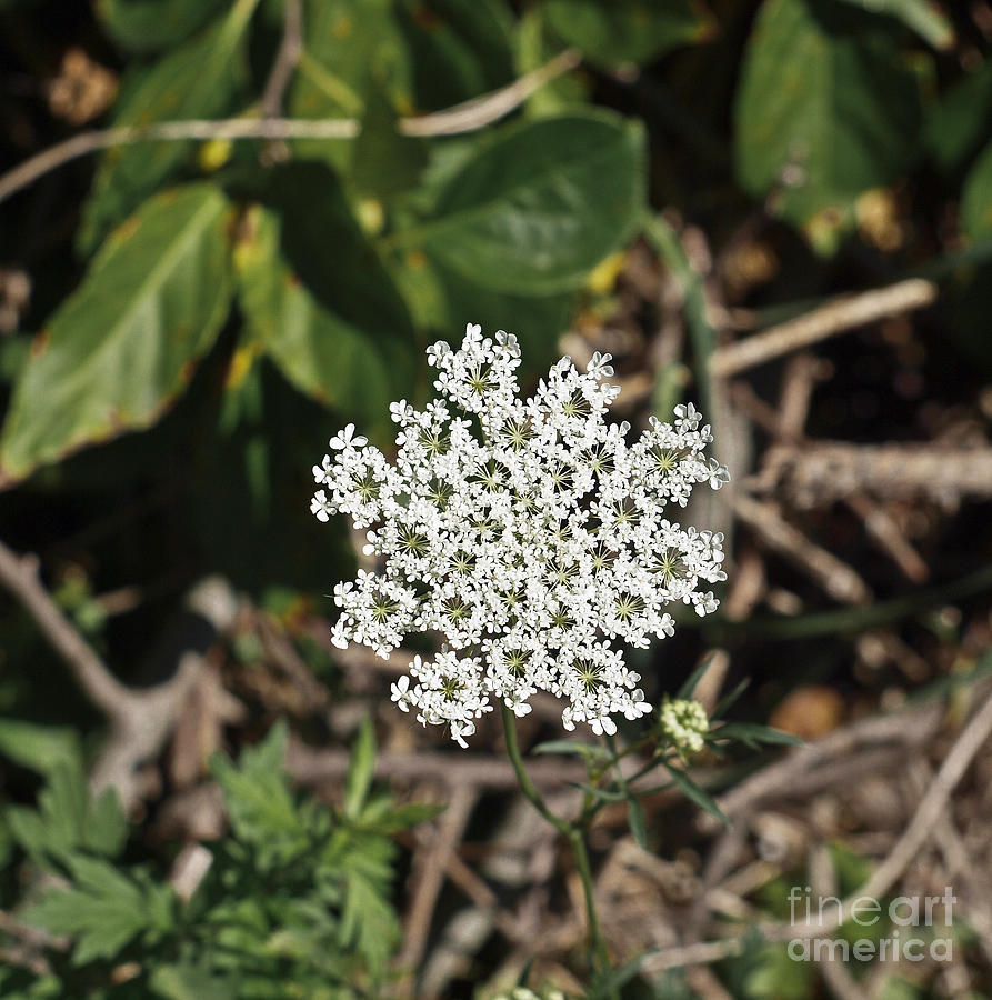 Bloom Photograph - Queen Annes Lace by Howard Stapleton