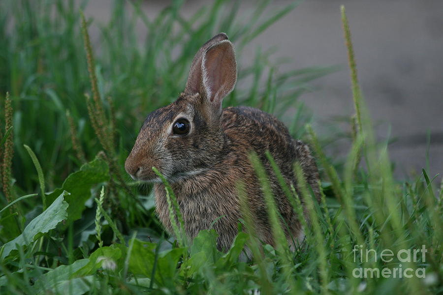 Bunny Photograph - Rabbit by Ken Keener