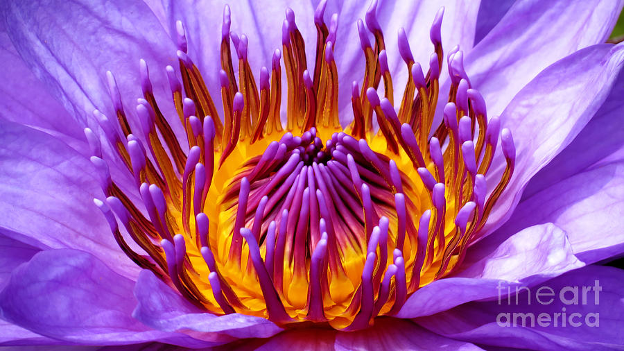 Water Lily Photograph - Radiance by Putterhug  Studio