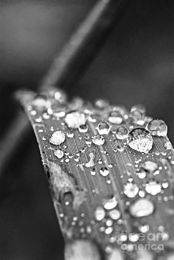 Raindrops On Grass Blade Photograph