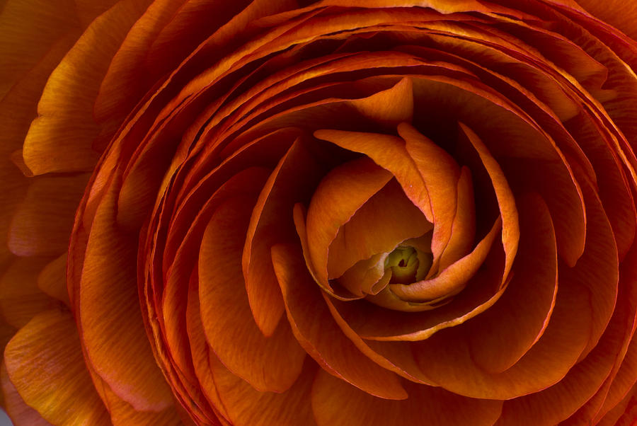 Blossom Photograph - Ranunculus by Cindy Rubin