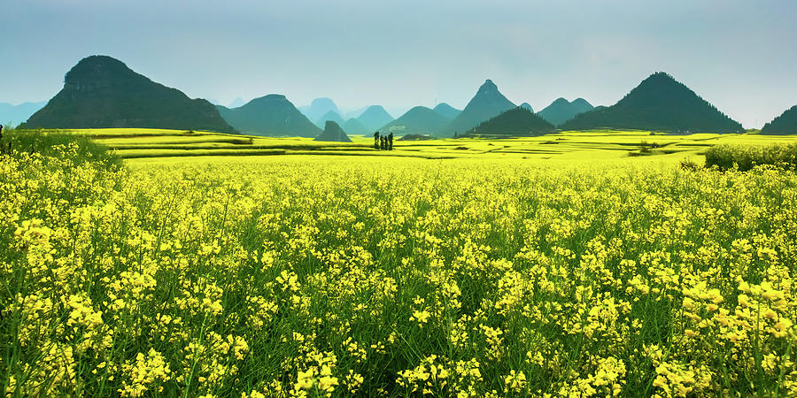 Rapeseed Flowers Photograph by Sunnyha  Images