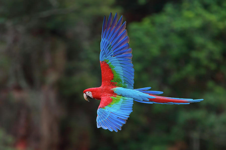 Red And Green Macaws Ara Chloroptera By Mint Images Art Wolfe