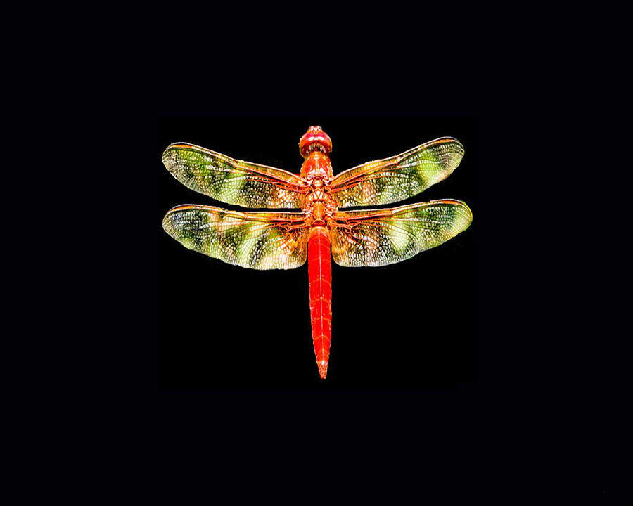 Red Dragonfly Photograph - Red Dragonfly Small by Tony Grider