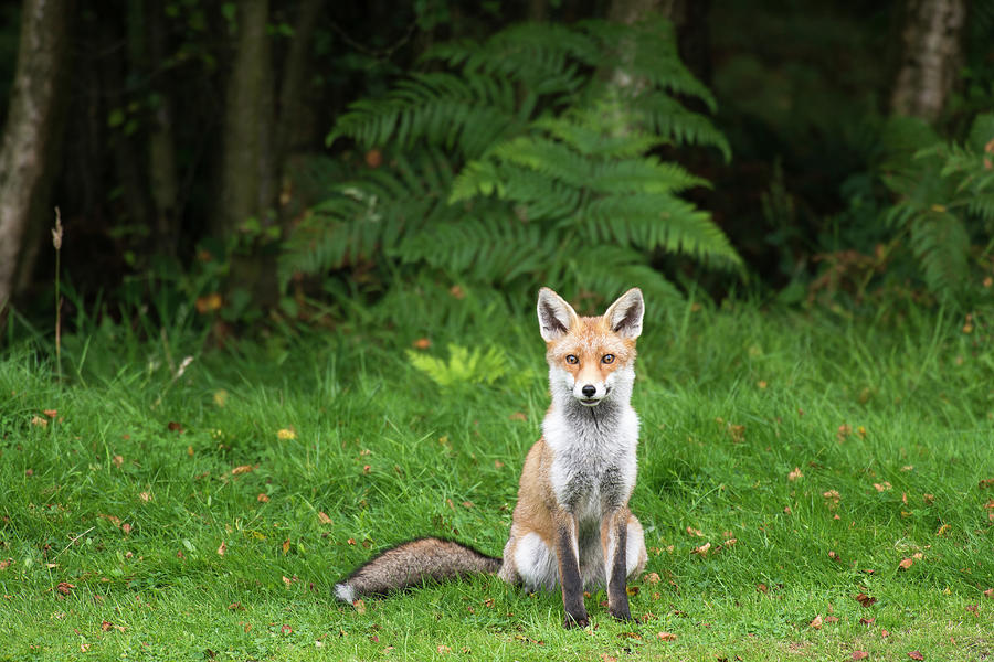 Red Fox At Edge Of Forest Photograph by James Warwick