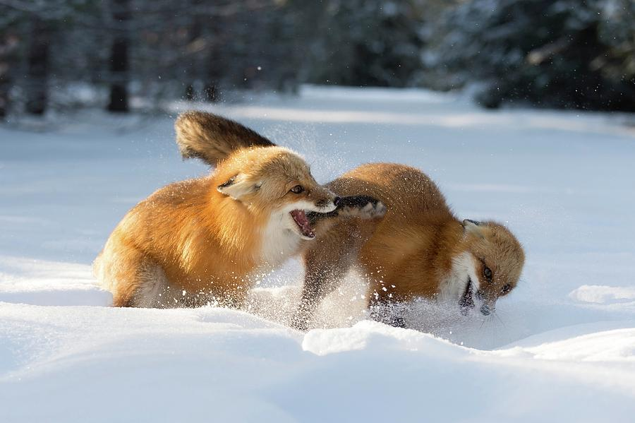 Vulpes Vulpes Photograph - Red Foxes Interacting In Snow by Dr P. Marazzi/science Photo Library