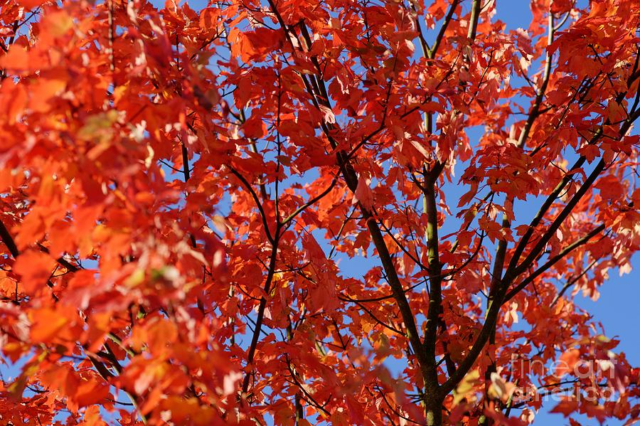 Autumn Photograph - Red Leaves Of Autumn by David Birchall