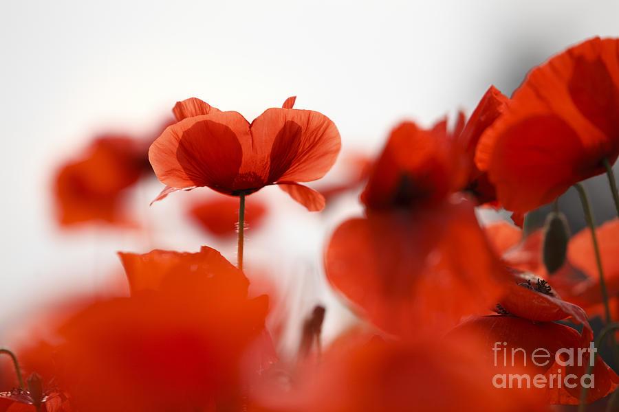 red poppy flowers photograph by nailia schwarz
