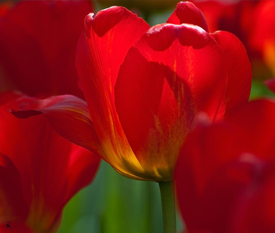 Tulips Photograph - Red by Randolph Fritz