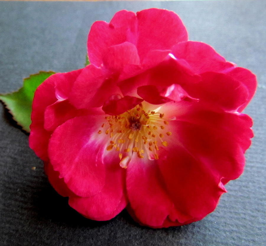 Photograph - Red Rose by Joyce Woodhouse