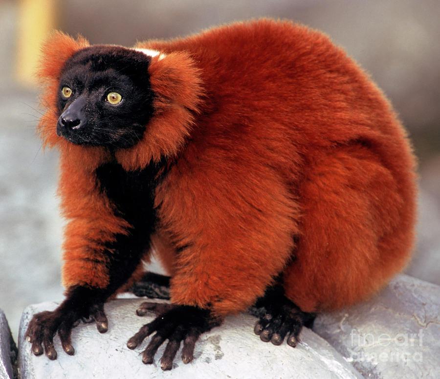 Red Ruffed Lemur Photograph By Millard H Sharp
