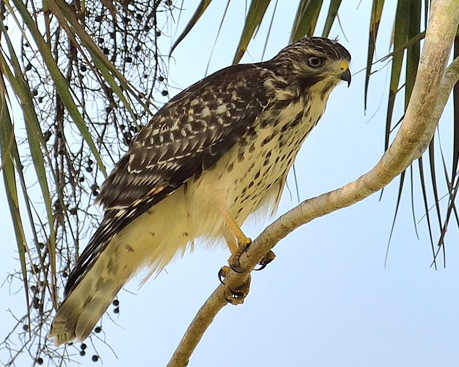 red shouldered hawk juvenile photograph by alan seelyejames